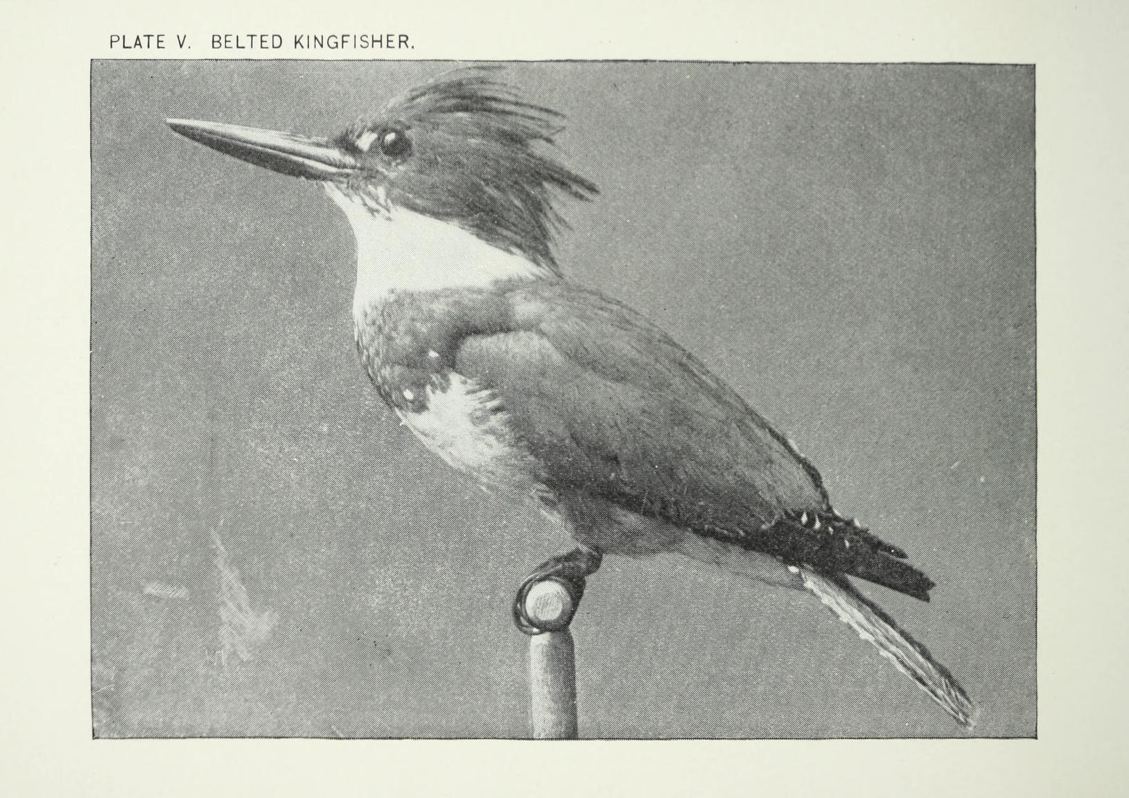 black and white photograph of a taxidermied specimen of a belted kingfisher, perched on a stand